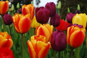 Tulips of red and yellow and purple